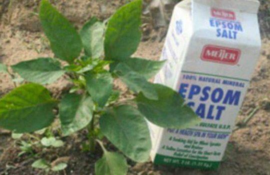 Epsom Salt Archives Info You Should Know