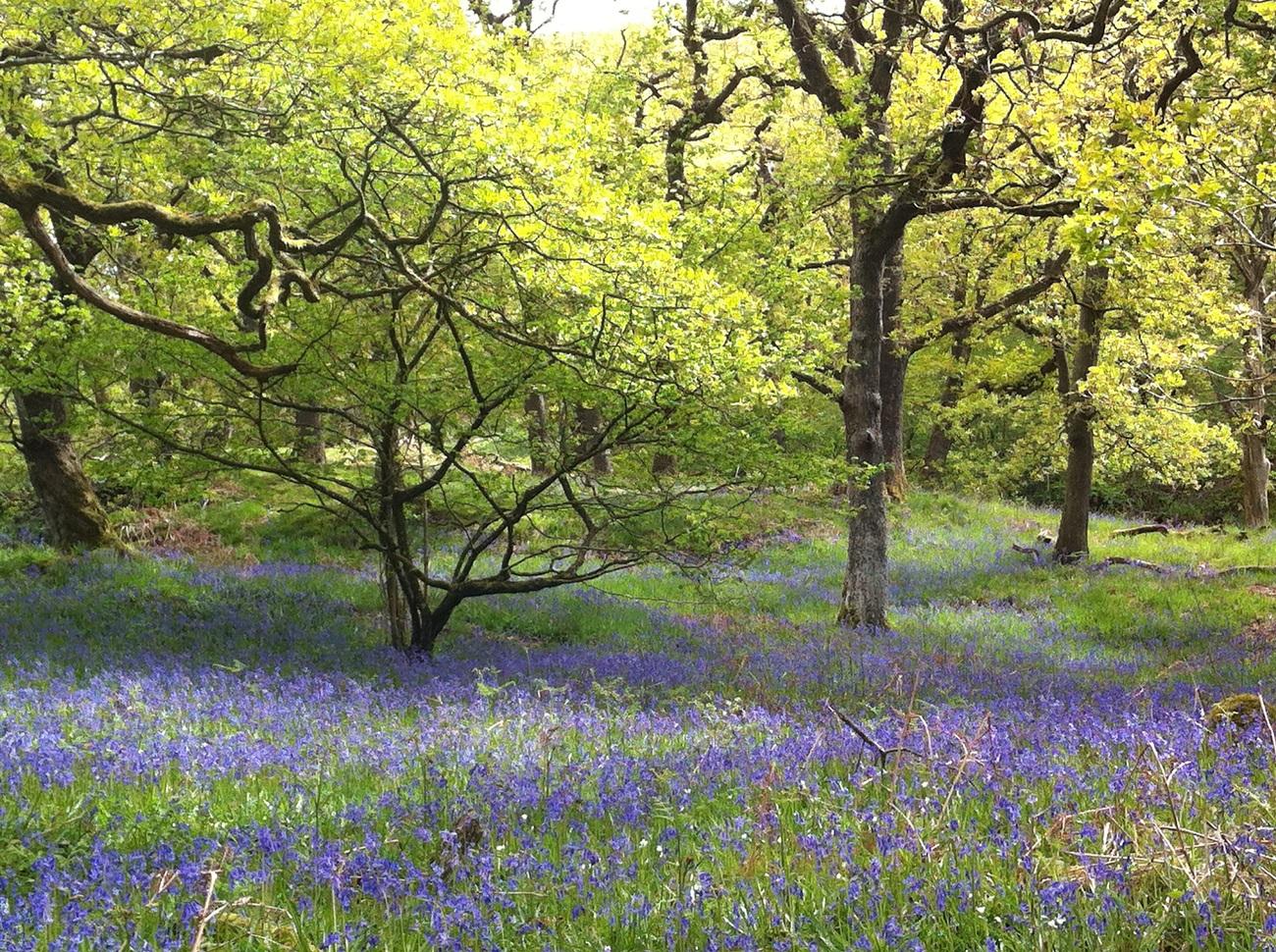 Ingleton-Falls-Bluebell-Wood