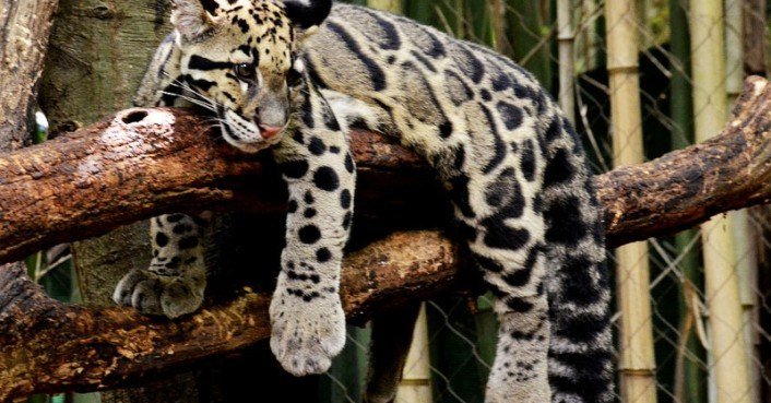 Free Checking Clouded Leopard « Inhabitat – Green Design, Innovation