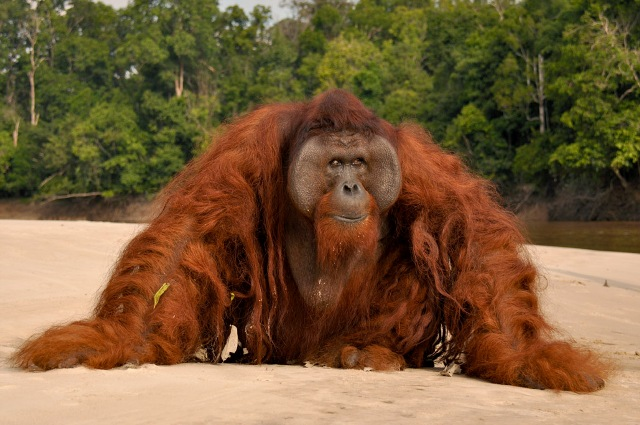 Orang Uta Orangutan Killed Over Palm Oil Had 40 Shotgun Pellets In