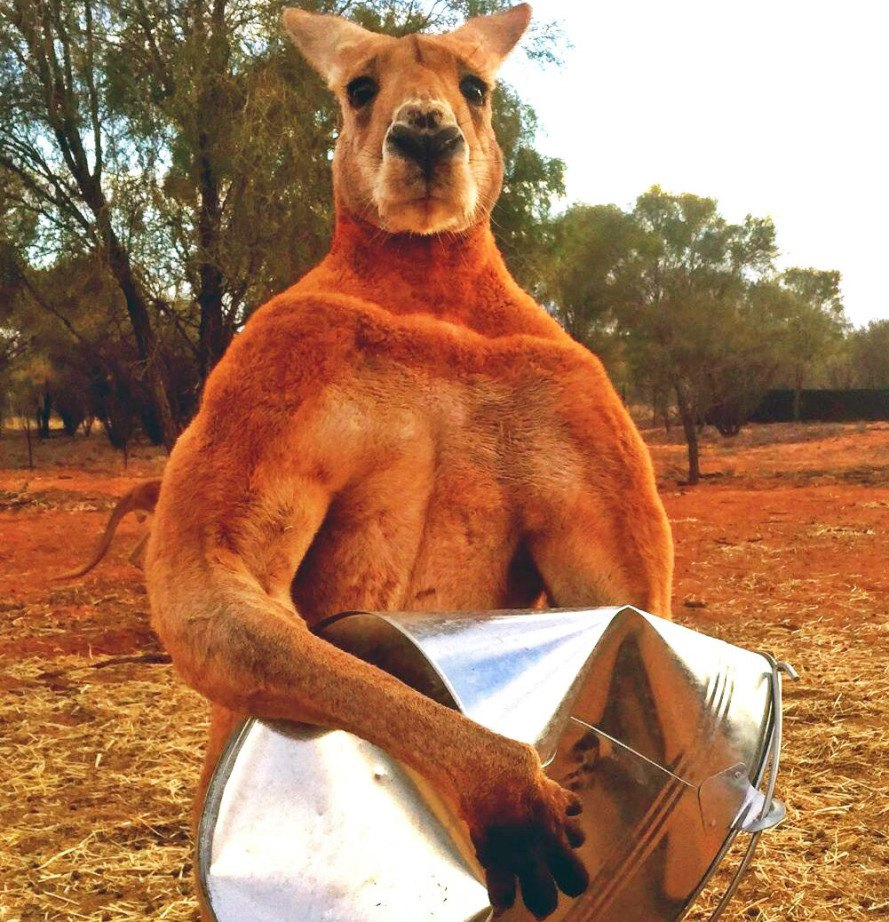 Animal Crush Don T Mess With Roger The Muscle Bound Kangaroo Who Can Crush