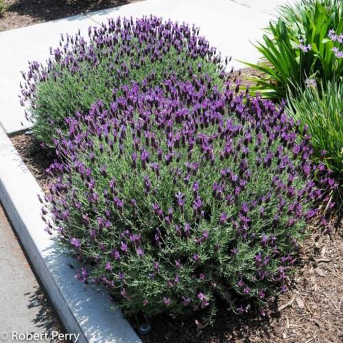 Medium Of Lavender In Spanish