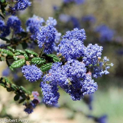 Medium Crop Of Ceanothus Dark Star