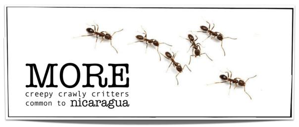 Mosquitoes Nicaragua