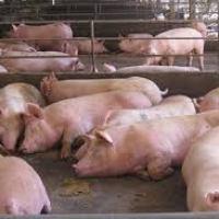 Hoy comenzó investigación de salvaguardia a la carne de cerdo importada