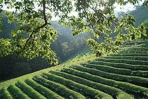 300px-Korea-Boseong-Green.tea-09