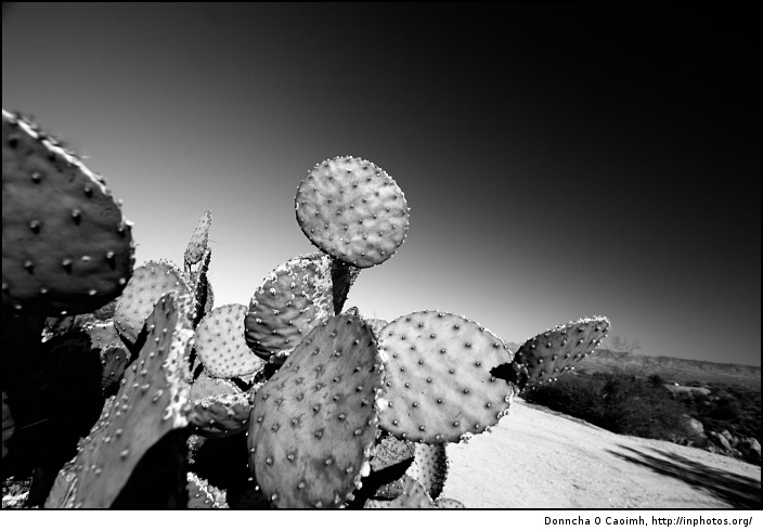 spotty cactus