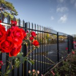 The Blarney Rose