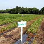 Strawberry fields in a Hampshire pick-your-own farm