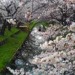 Cherry Blossoms line river shingashi