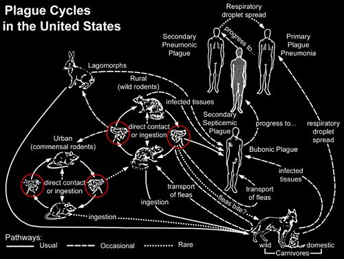 Plague transmission cycle in the US