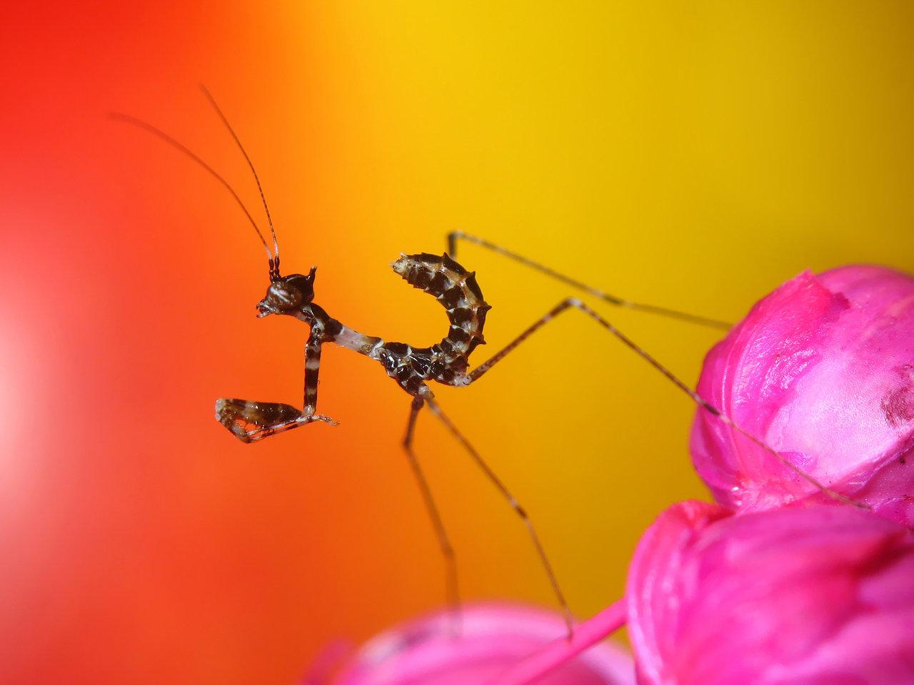 Sibylla Pretiosa - Cryptic Mantis - Nymph
