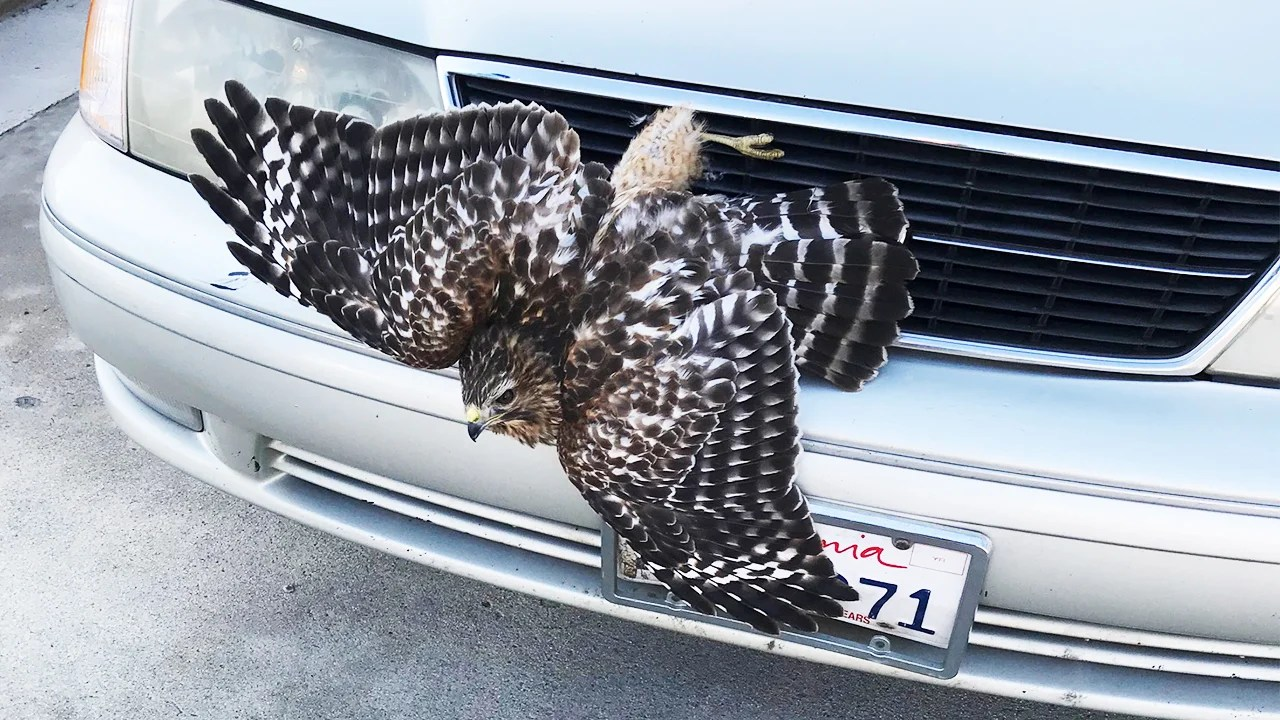 Car Grill Hawk Escapes With Broken Leg After Being Stuck In Car's