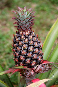 Pineapple with new shoots, Croydon Plantation