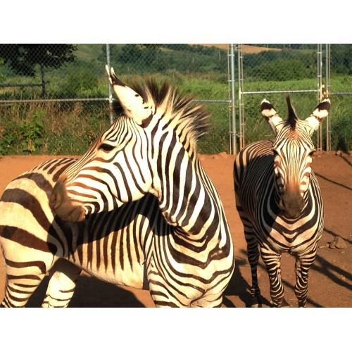 Medium Crop Of Pictures Of Zebras