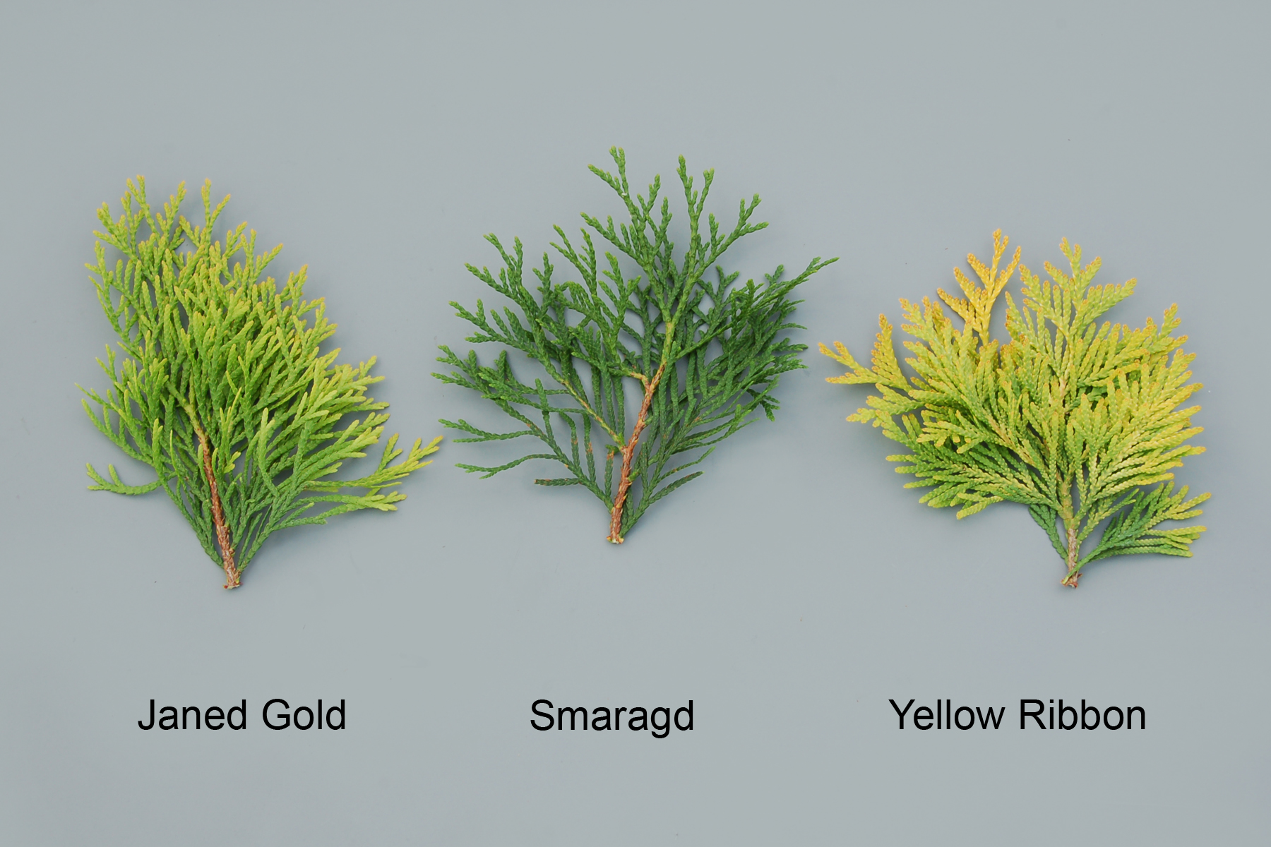 Thuja Yellow Ribbon Height Canadian Food Inspection Agency Janed Gold