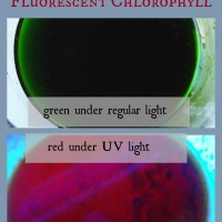 Halloween Science: Fluorescent Chlorophyll