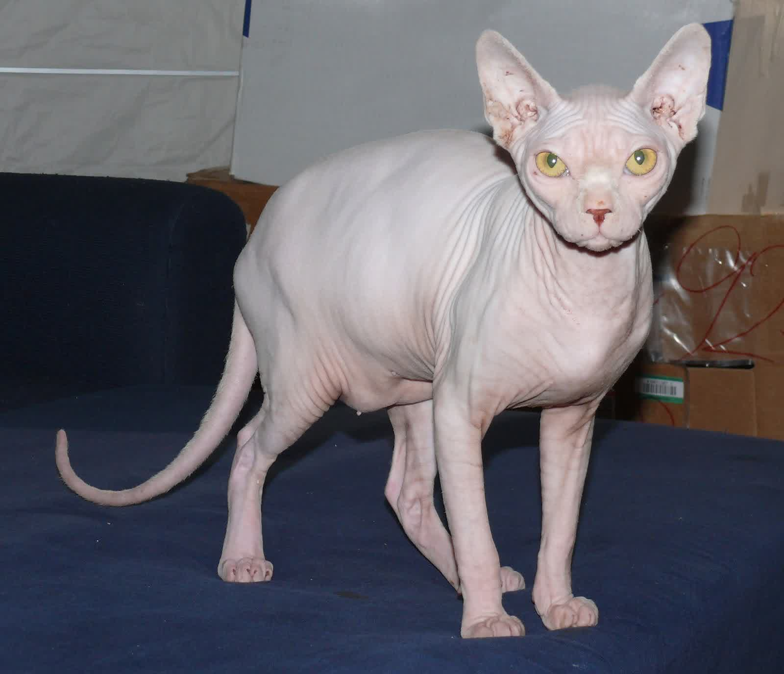Cute Little Gray Cat For Wallpaper The Sphynx Cats Characteristics History And Pictures