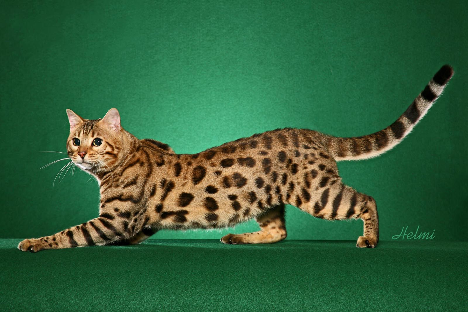 Black And Grey Wallpaper Bengal Cat One Of The World S Most Expensive Cat