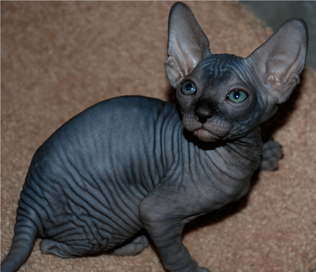 Sfinx Kat The Sphynx Cats Characteristics History And Pictures