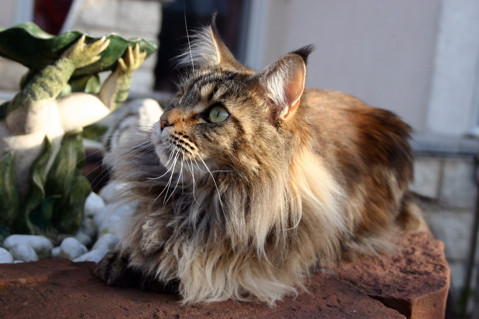 Very Cute Couple Wallpaper Maine Coon Cat Personality Characteristics And Pictures