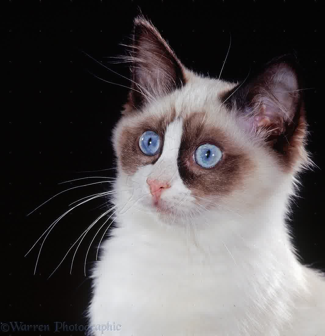Cute White Kittens With Blue Eyes Wallpaper Ragdoll Cat Personality Characteristics And Pictures