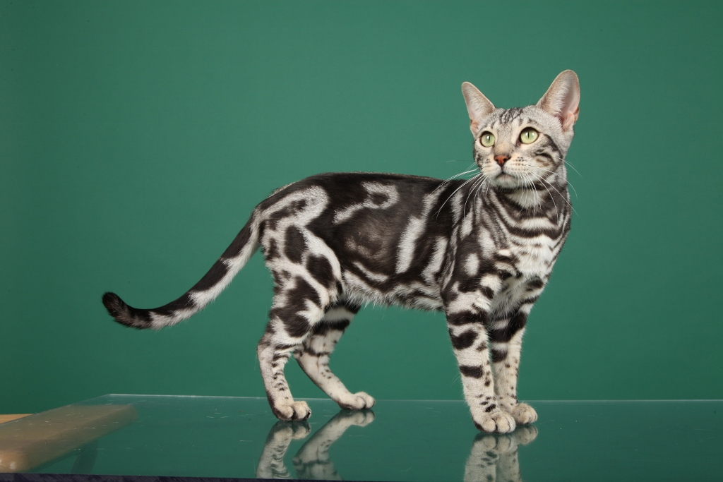 Bengal Cat Hd Wallpaper Bengal Cat One Of The World S Most Expensive Cat