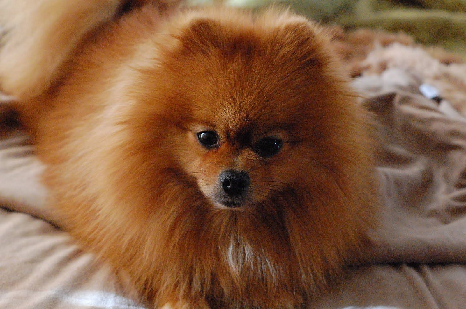 Black Dog Wallpaper Pomeranian Dog Temperament Exercise And Grooming