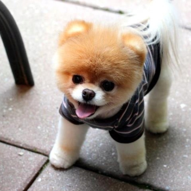 Cute Dental Wallpaper Pomeranian Dog Temperament Exercise And Grooming