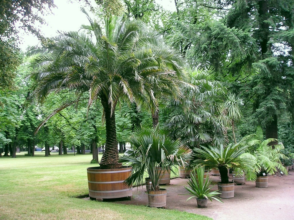 Avocadobaum Pflanzen Small Palm Trees Guide: Types That Grow 4 - 20 Feet Tall