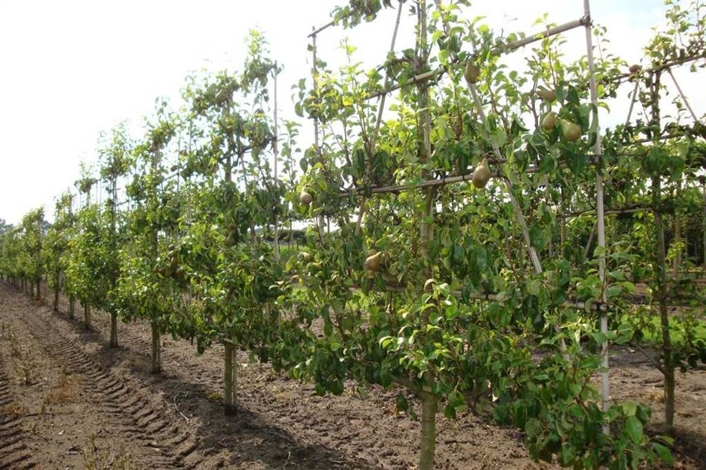 Espalier Magnolia Pleached & Table-top Trees – Instant Hedges