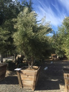 Olive Tree non -fruiting Majestic Beauty 36""