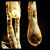 Yellow amber sap from a cut gray pine, Peninsula trail