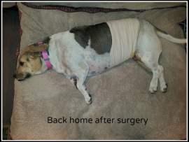 Phoebe after surgery with bandage