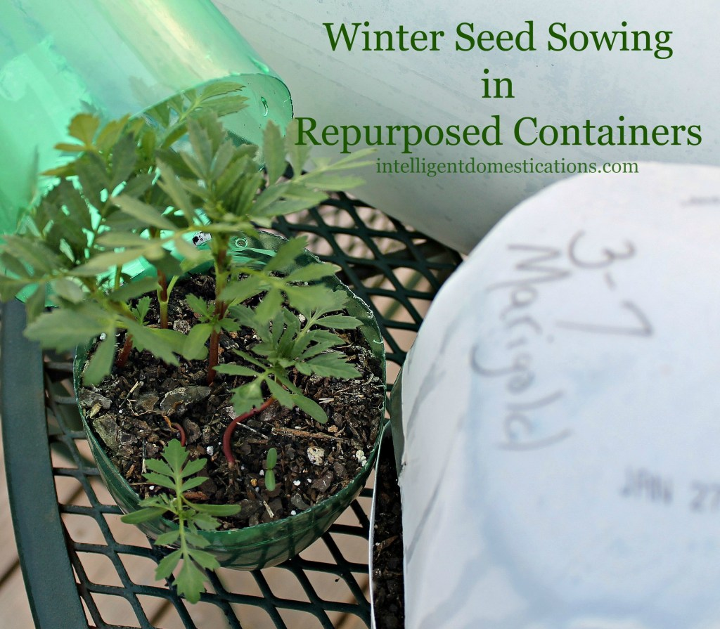 Marigolds seeded in repurposed plastic containers by intelligentdomestications.com