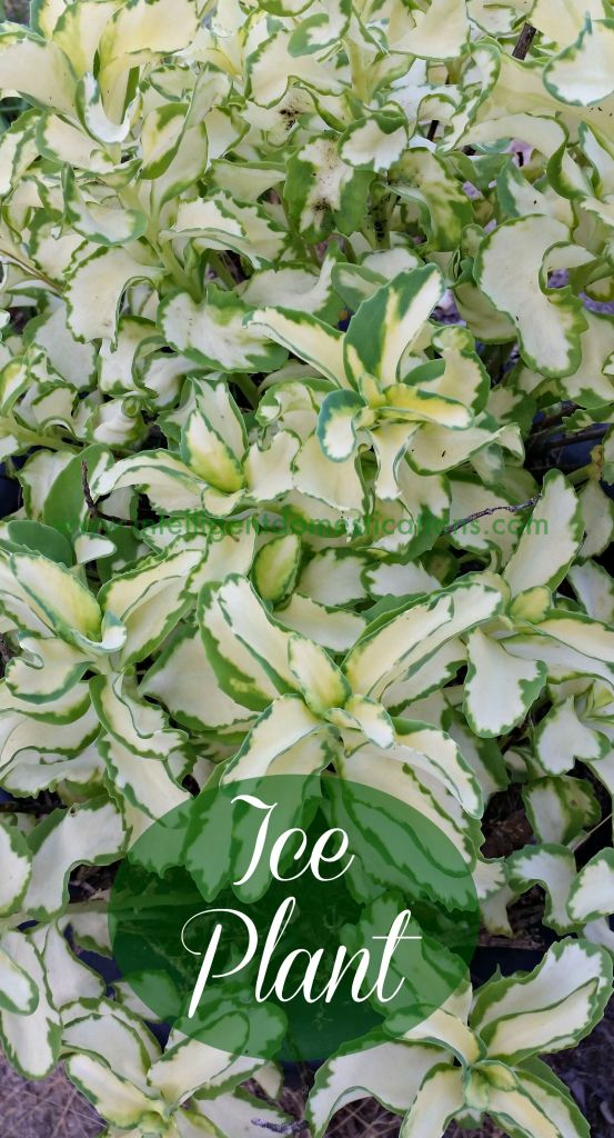 Ice Plant will grow in the yard or in containers.www.intelligentdomestications.com.