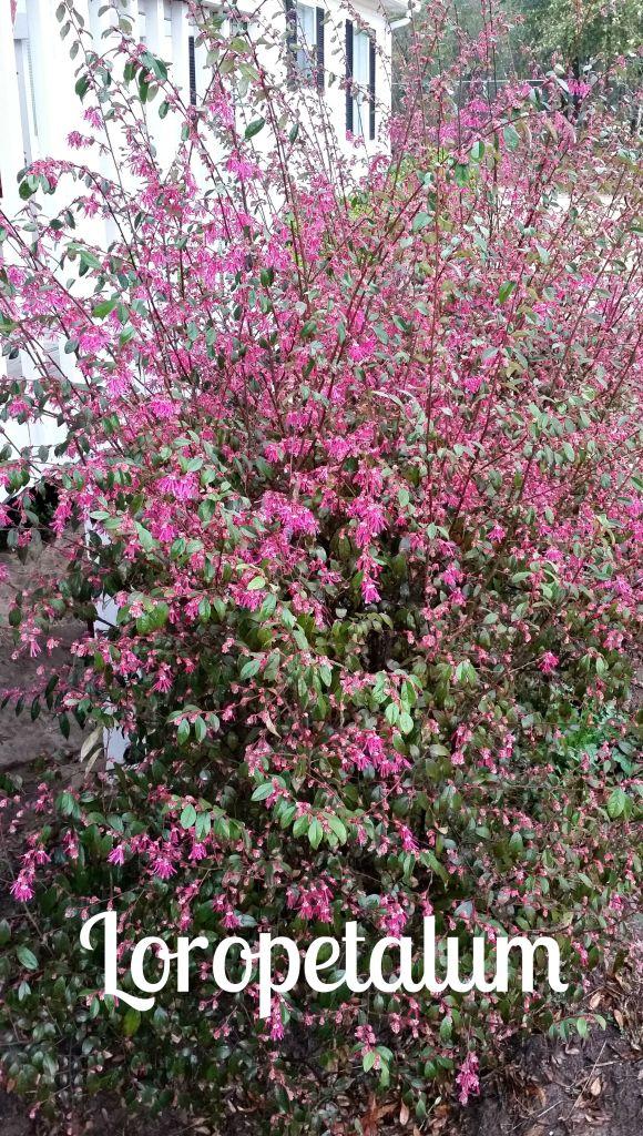 Loropetalum in bloom.www.intelligentdomestications.com