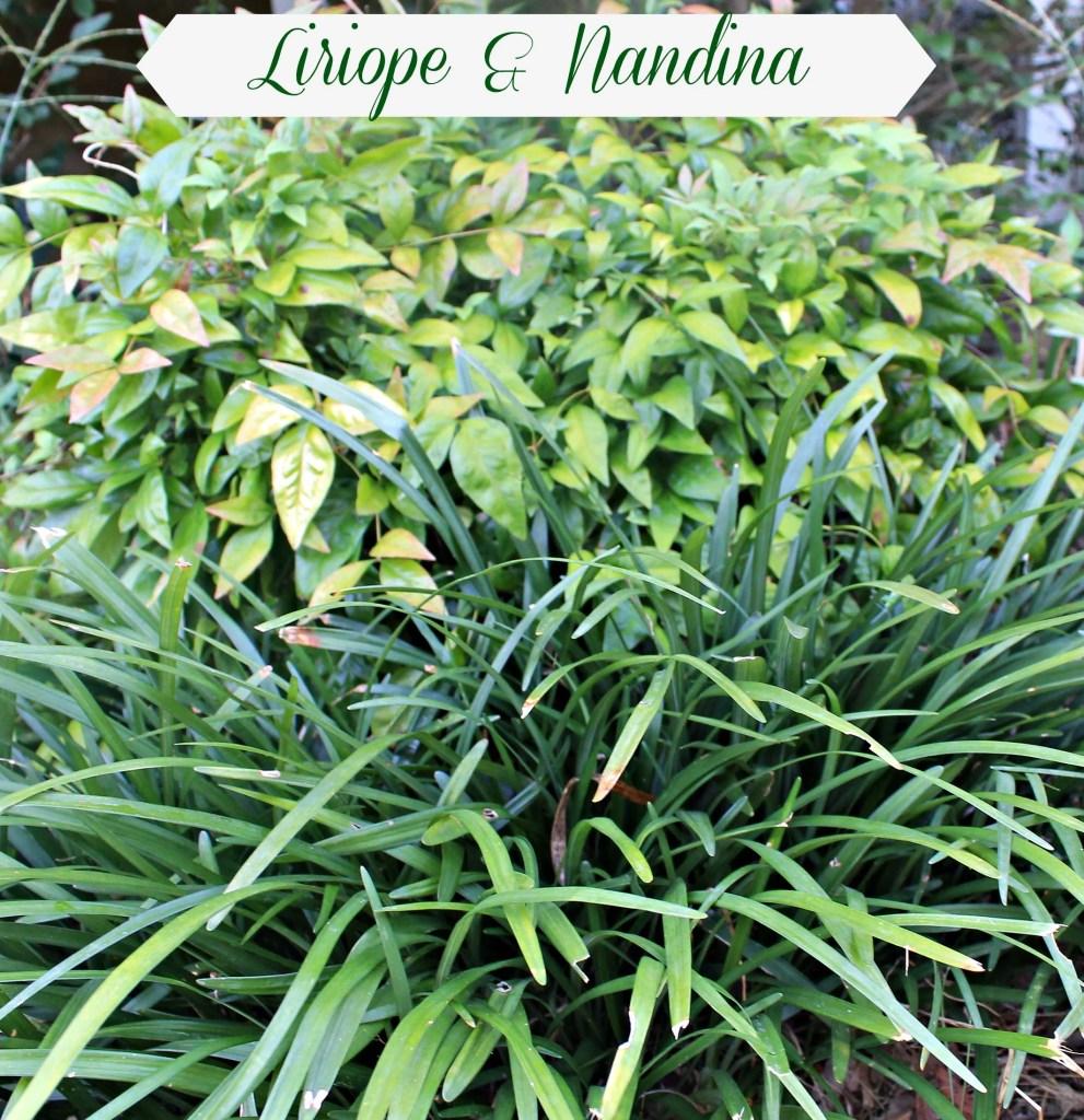 Nandina shrub bordered by Liriope