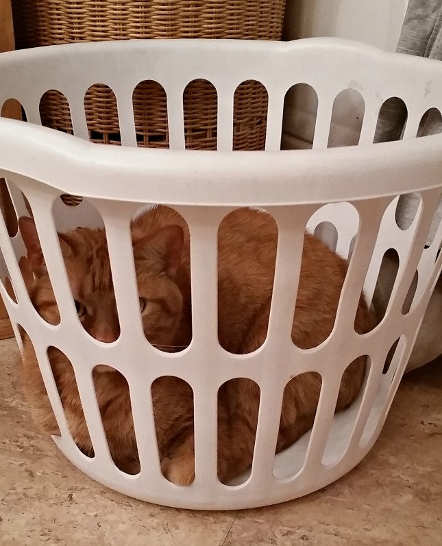 Hobbs in the laundry basket