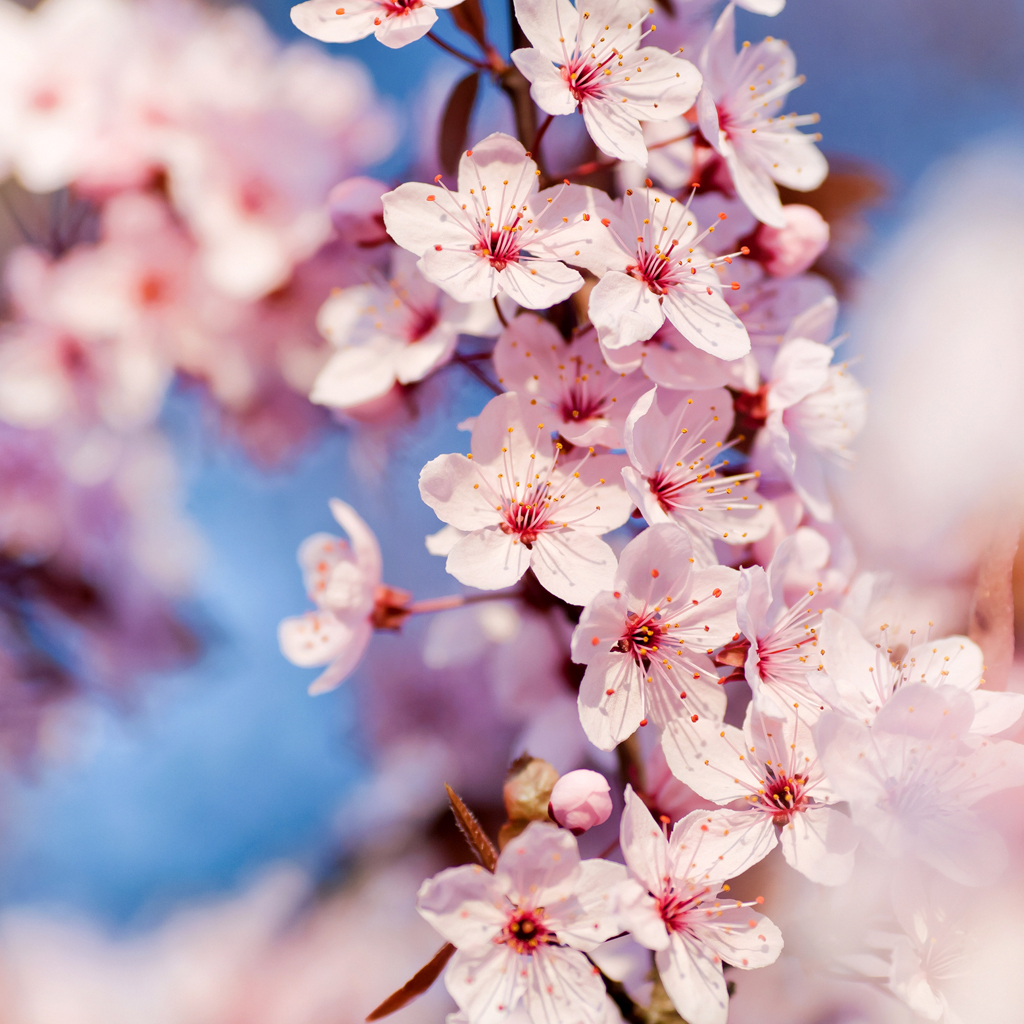 Wallpapers Cherry Blossom Interfacelift Wallpaper Cherry Blossoms