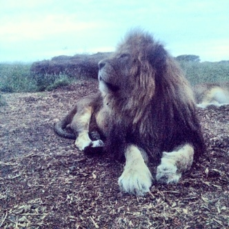 lion at whipsnade