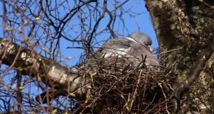 Presentati 15 anni di dati sul monitoraggio degli uccelli nidificanti in Umbria. Colombaccio in forte aumento