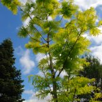 Dawn Redwood with gold needles