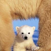 ArtWolfe_bears