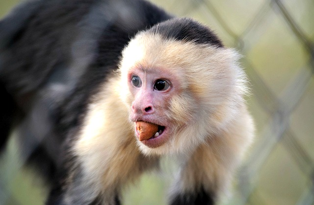 White Faced Capuchin Facts White Face Capuchin