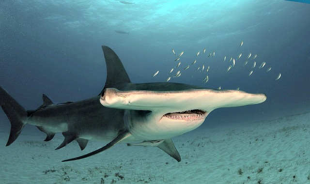 Hd Great White Shark Wallpaper Top 10 Interesting Facts About Hammerhead Sharks Always