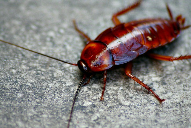 15 Creepily Amazing Cockroach Facts! Fun Facts You Need to Know! - baby american cockroaches