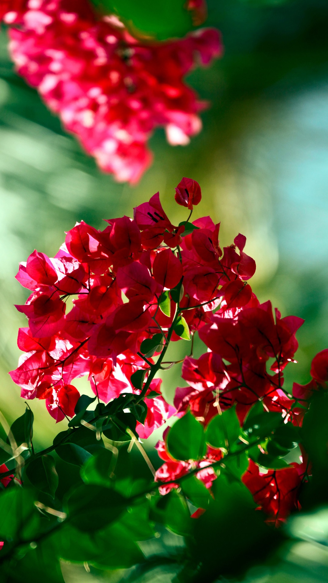 Bougainvillea Wallpaper New Iphone Wallpaper Iphone Wallpaper