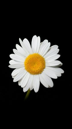 Cute Iphone Wallpaper App Papers Co Nc79 Daisy Flower Dark Nature 33 Iphone6
