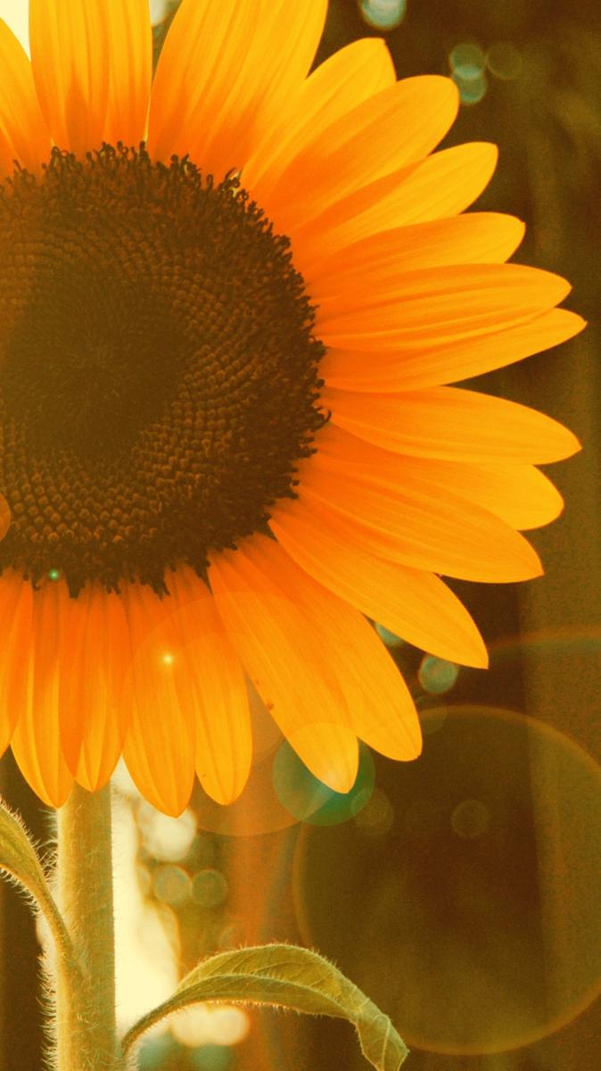 Fall Sunflower Wallpaper Sunflower Near Window Iphone Wallpaper Iphone Wallpapers